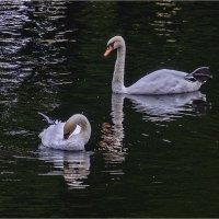 Лебеди :: Александр
