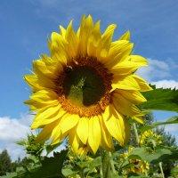 Подсолнухи пахнут солнечной свежестью. :: Galina Leskova