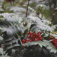 Красная рябина под моим окном... :: Виктория Браун