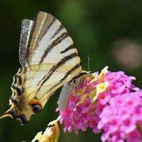 Бабочка. :: Оля Богданович