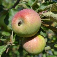 два яблока :: Марина Титкова