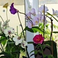 цветы нашего подоконника :: Александр Корчемный