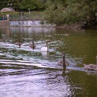 Подросший отряд лебедят в нашем парке) :: Татьяна Каримова