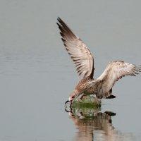 чайка :: Игорь Голубев