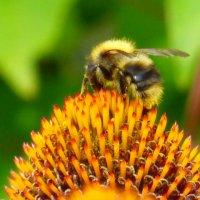 Пчёлка :: Alexey YakovLev