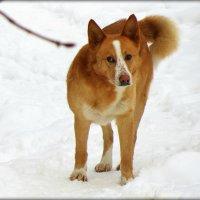 Собака :: Михаил Цегалко