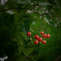ягода :: Евгений Ромащенко