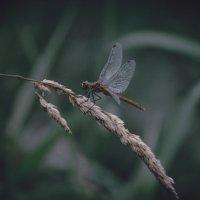 dragonfly :: Милана Лесова