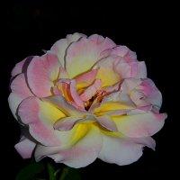Ночью розы ароматом дышат... :: *MIRA* **