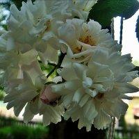 Белая гроздь :: Нина Корешкова