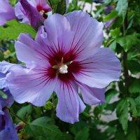 Hibiscus 'Marina' :: Galina Dzubina