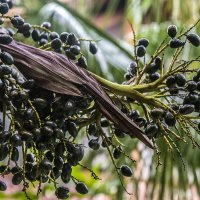 виноградная пальма :: Александр