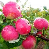 Яблочный спас. :: Valentina