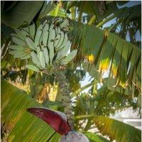 Вот как растут бананы ! :: Игорь Абламейко