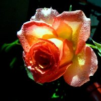 Мокренькая роза :) :: Милла Корн