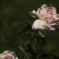 Эта роза дважды не расцветёт :: Яков Реймер