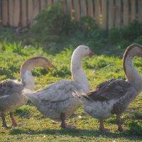 Три веселых гуся жили у бабуси... :: Светлана Королева