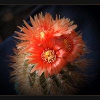 """Из серии """"Цветущие кактусы"""" 3 :: Валерий Талашов"""