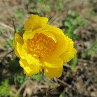 Весенний цветок :: Елена *