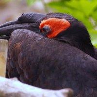 Рогатый ворон :: kolyeretka