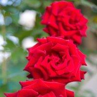 Розы :: Олег