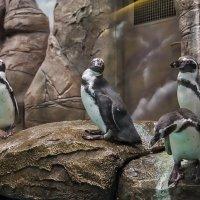 Пингвины :: Владимир Габов