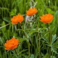 Таёжные цветы. :: юрий Амосов