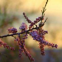 Цветы на закате :: Оля Богданович