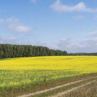 Желтое море рапса :: Андрей Зайцев