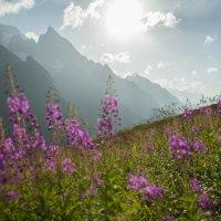 Цветение иван-чая на чучхурском седле (Домбай) :: Евгений Khripp