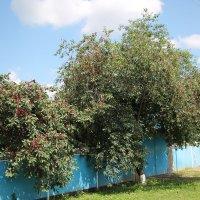Хороший урожай вишни. :: Олег Афанасьевич Сергеев