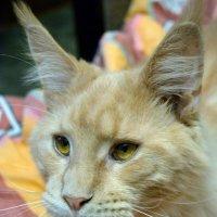 медовый котик мой :: Nastasia Nikitina