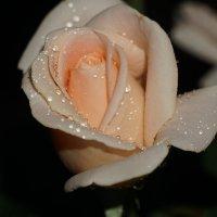 Роза :: Иван Дмитриев