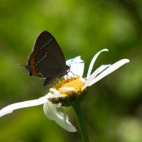 Бабочка :: Михаил Минькин