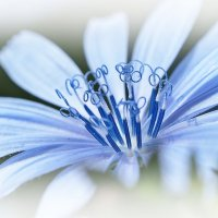 Голубые завитки :: Swetlana V