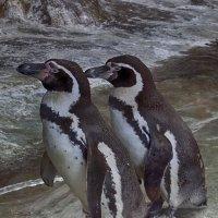 Пингвины :: Ольга
