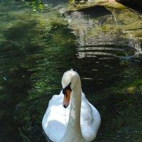 Лебедь белая. :: Валерий Стогов