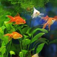 Золотые рыбки :: Ирина Приходько