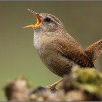 Лесной певец (крапивник) :: vovafritz