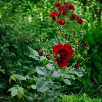 Розы :: Елена Данько