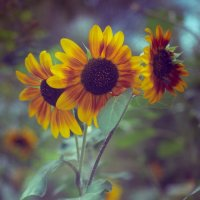 летние цветы 8 :: Дмитрий Барабанщиков