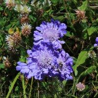 IMG_4334 горные цветы :: Олег Петрушин