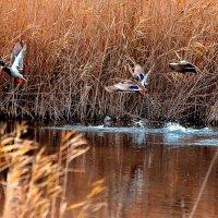 Утки взлетают с озера в зарослях камыша :: Николай Михайленко