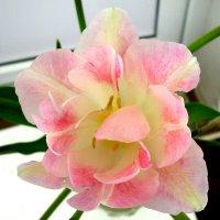 Махровый тюльпан :: татьяна