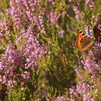 Бабочки в вереске :: Larisa Freimane