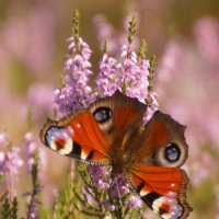 "Бабочка- ""Павлиний глаз"" :: Larisa Freimane"