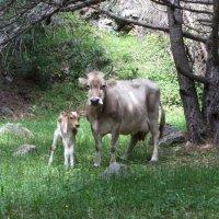 Корова с детенышем :: Виталий Купченко