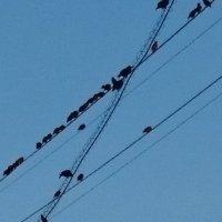 Сидят перелётные птицы ... :: Galina194701