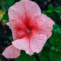 розовый цветок :: Света Кондрашова