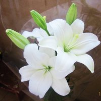 Белые лилии :: татьяна